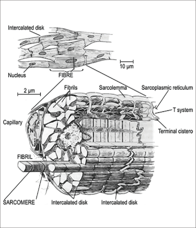Figure 1: The basic morphology of the cardiac muscle cell. Reproduced with permission