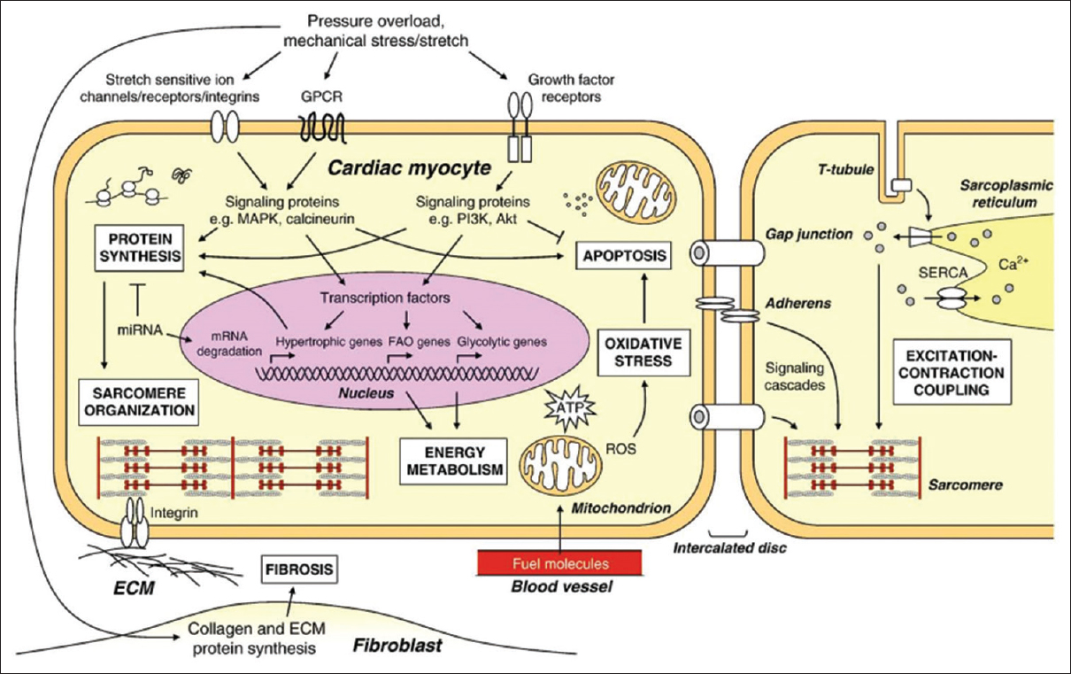Figure 4: Cellular processes involved in the development of cardiac hypertrophy. Reproduced with permission